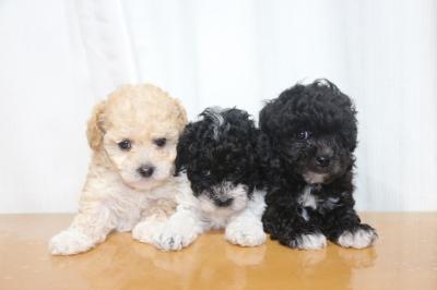トイプードルパーティーカラーの子犬メス3頭、生後6週間画像