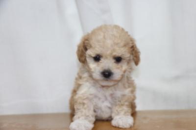 トイプードルアプリコット&ホワイトの子犬メス、生後6週間画像
