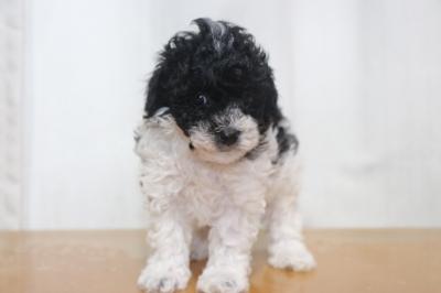 トイプードル白黒の子犬メス、生後6週間画像