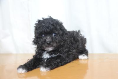 トイプードルシルバー&ホワイトの子犬メス、生後6週間画像