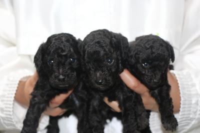 トイプードルシルバーの子犬オス3頭、生後4週間画像
