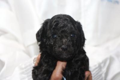 トイプードルシルバーの子犬オス、生後