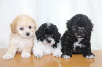 トイプードルパーティーカラーの子犬メス3頭、生後7週間画像