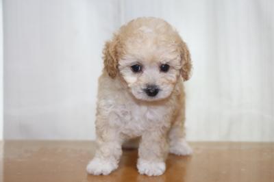 タイニープードルアプリコット&ホワイトの子犬メス、生後7週間画像