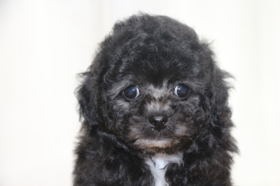 トイプードルシルバー&ホワイトの子犬メス、生後7週間画像