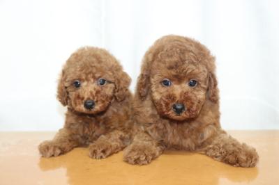 トイプードルレッドの子犬オス2頭、生後7週間画像
