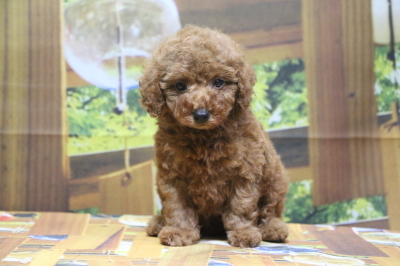 タイニープードルレッドの子犬オス、生後7週間画像