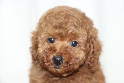 トイプードルレッドの子犬オス、生後7週間画像