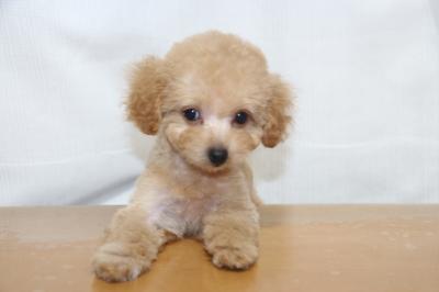 ティーカッププードルアプリコットの子犬メス、生後2ヵ月画像