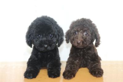 トイプードルブラック(黒色)とブラウンの子犬メス、生後2ヵ月画像