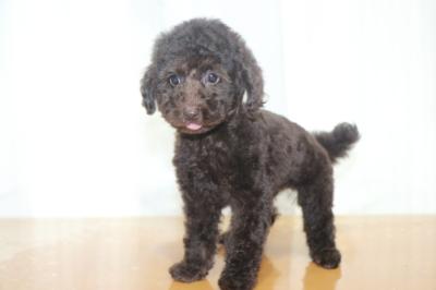 トイプードルブラウンの子犬メス、生後2ヵ月画像