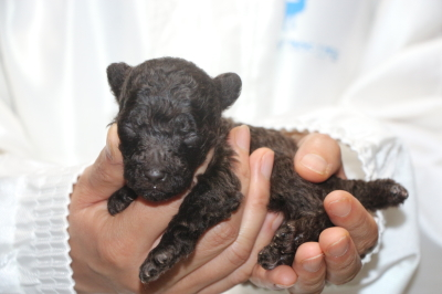 トイプードルブラウンの子犬オス、生後2週間画像