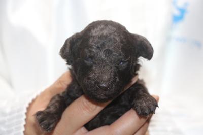 トイプードルブラウンの子犬メス、生後2週間画像