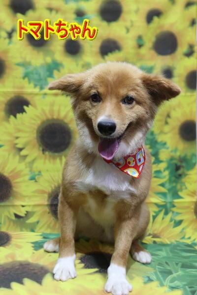 千葉県鎌ケ谷市のミックス犬のトリミング画像