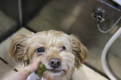 千葉県鎌ヶ谷市のミックス犬の歯磨き画像