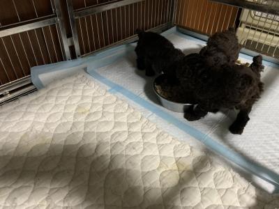 トイプードルブラウンの子犬オス2頭メス1頭、生後4週間離乳食画像