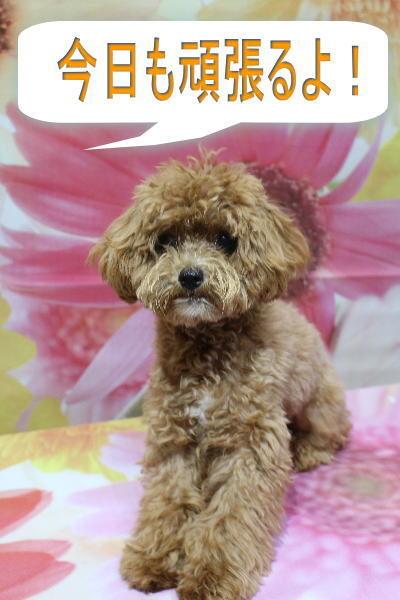 千葉県船橋市のミックス犬のトリミング前画像