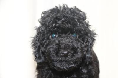 トイプードルブラック(黒色)の子犬メス、生後8週間画像