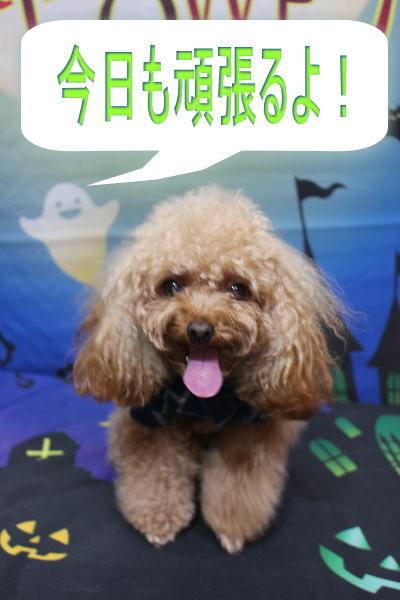 千葉県千葉市のトイプードルのトリミング前画像