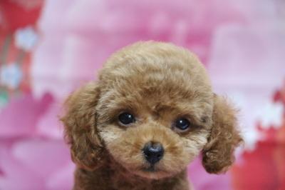 タイニープードルレッドの子犬メス、東京都中央区ルルちゃん画像