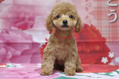 トイプードルレッドの子犬メス、東京都新宿区ユウちゃん画像