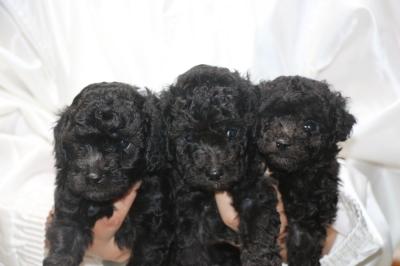 トイプードルシルバーの子犬オス3頭、生後5週間画像