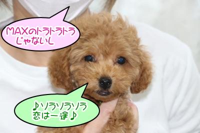トイプードルレッドの子犬オス、千葉県習志野市そら君画像