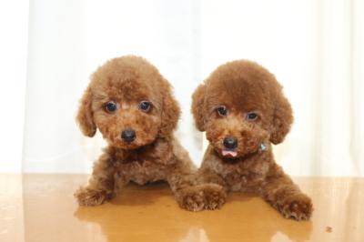 トイプードルレッドの子犬オス2頭、生後2ヵ月画像