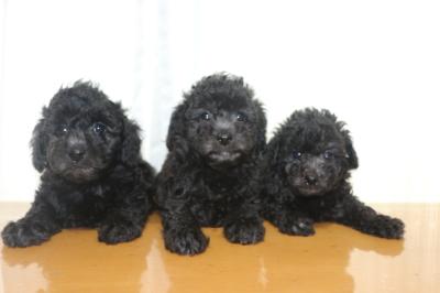 トイプードルシルバーの子犬オス3頭、生後5週間