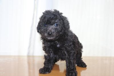 タイニープードルシルバーの子犬オス、生後6週間画像