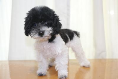 トイプードル白黒パーティーカラーの子犬メス、生後2ヵ月画像