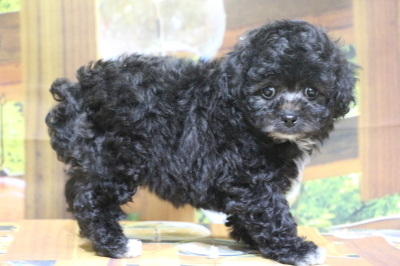 トイプードルシルバー&ホワイトの子犬オス、愛媛県松山市りぅりぅ君画像