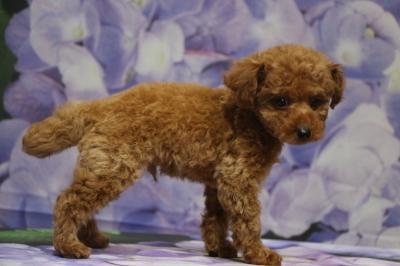 トイプードルレッドの子犬オス、千葉県八千代市しゅり君画像