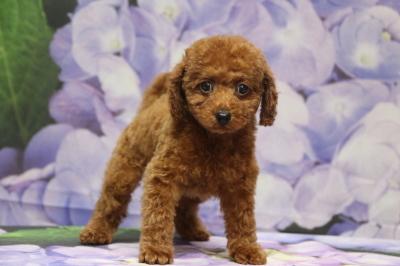 トイプードルレッドの子犬メス、愛知県豊橋市マルコちゃん画像