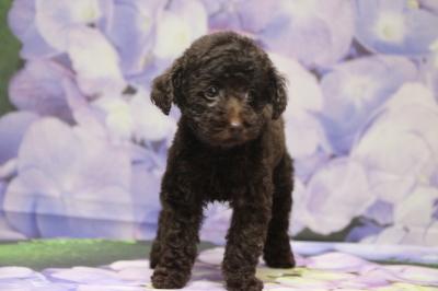 タイニープードルブラウンの子犬メス、千葉県袖ケ浦市虎千代ちゃん画像