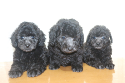 トイプードルシルバーの子犬オス3頭、生後7週間画像