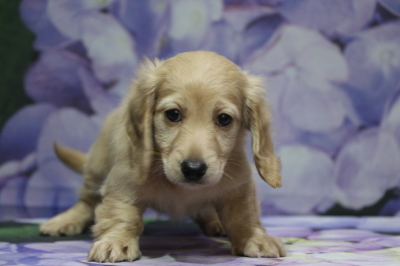 ミニチュアダックスイエロー(クリーム)の子犬メス、千葉県松戸市ハッピーちゃん画像