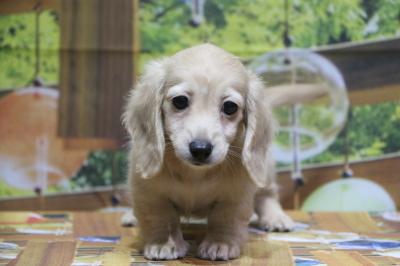 ミニチュアダックスイエロー(クリーム)の子犬メス、東京都世田谷区バニラちゃん画像