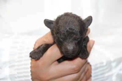 トイプードルブラウンの子犬オス、生後1週間画像
