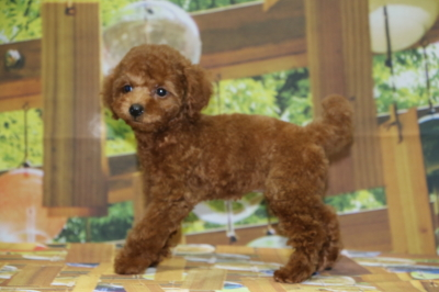 トイプードルレッドの子犬メス、東京都立川市クリちゃん画像