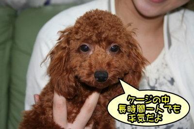 東京都福生市トイプードルレッドのの子犬メス、つぶあんちゃん画像