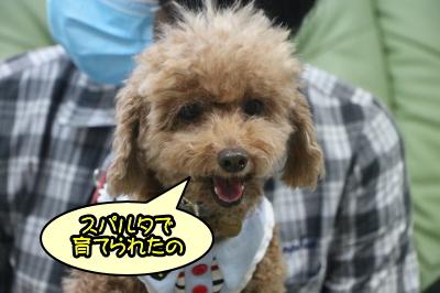 東京都福生市トイプードルレッドの成犬メス、つぶあんちゃん画像