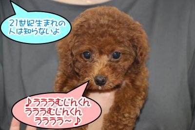 トイプードルレッドの子犬メス、千葉県鎌ヶ谷市クリちゃん画像