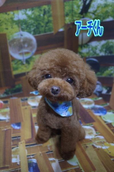 ティーカッププードルレッドの成犬オス、千葉県鎌ヶ谷市アーチ君画像