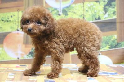 ティーカッププードルレッドの子犬メス、千葉県船橋市リボンちゃん画像