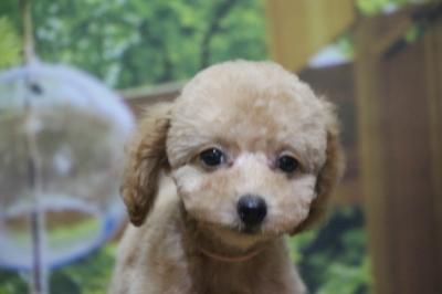 トイプードルアプリコットの子犬メス、神奈川県横浜市あんずちゃん画像