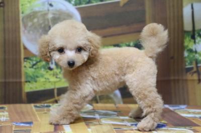 ティーカッププードルアプリコットの子犬メス、千葉県鎌ヶ谷市リタちゃん画像