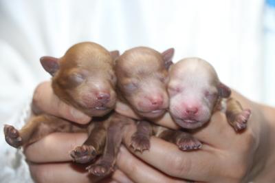 トイプードルの子犬レッドオス2頭アプリコットメス1頭、生後3日画像