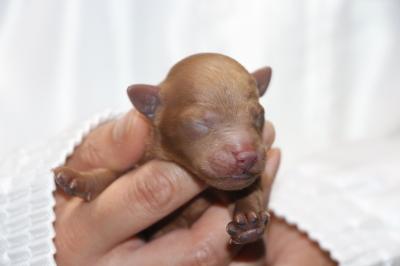 トイプードルレッドの子犬オス、生後3日画像