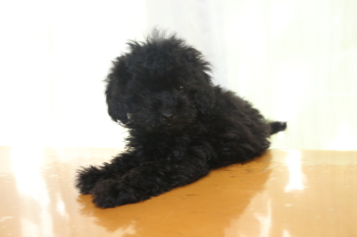 ティーカッププードルブラック(黒色)の子犬メス、生後2ヵ月画像